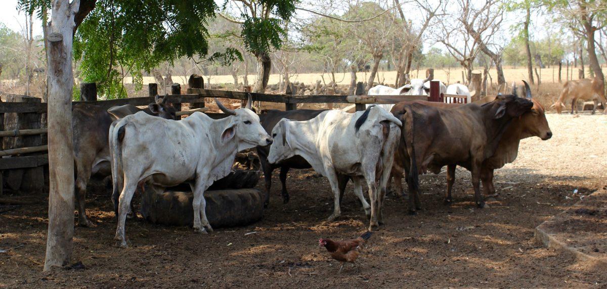 Ein paar der Kühe von Juan del Dios