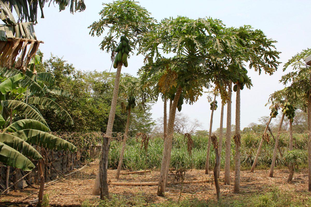 Papayabäume auf der Finca von Juan del Dios